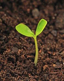 La semilla que crece Semilla_que_crece
