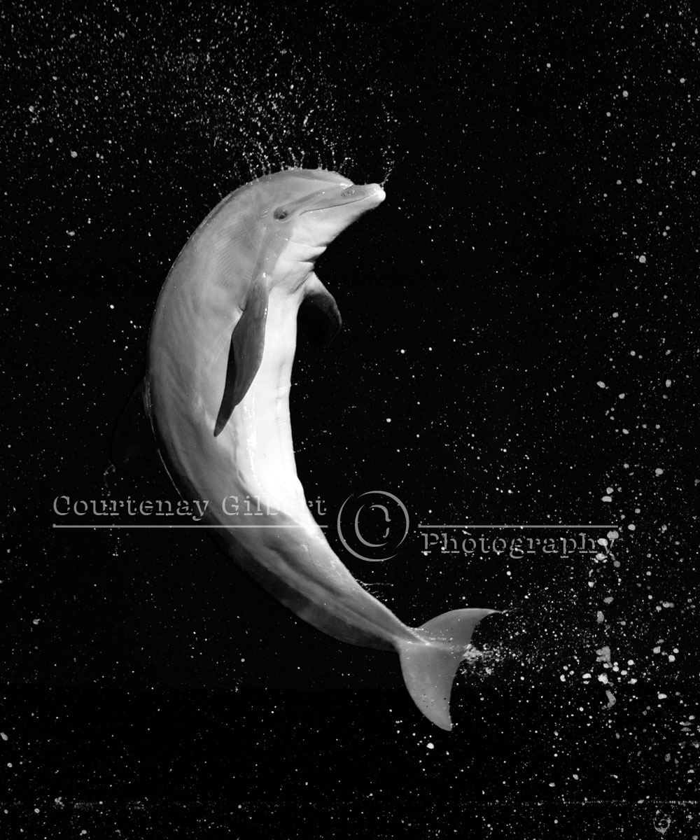 Dolphin Images Black And White