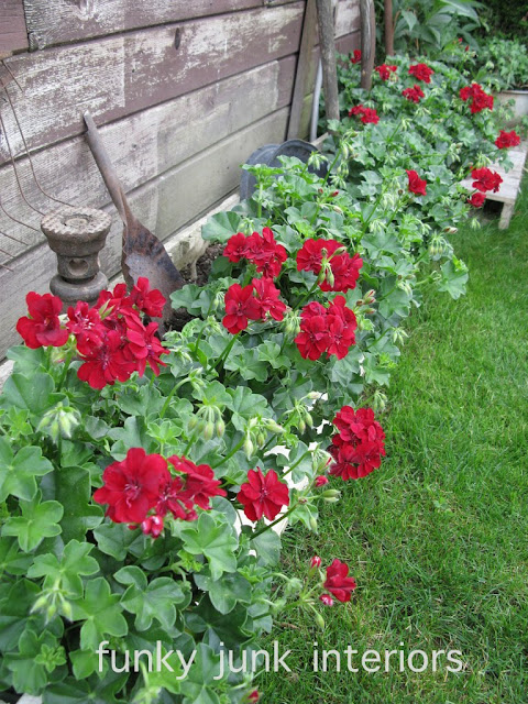 How to grow red geraniums and keep them blooming all summer long! Click to read many other gardening tips. #garden #flowers #vegetables #gardentips