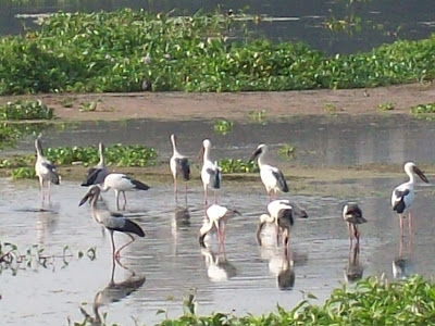 Asian Openbill Storks