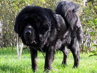 el perro mas feroz y caro del mundo