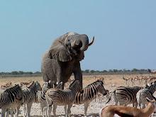 Elefantes, zebras e gazelas