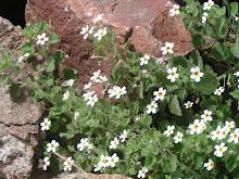 Flores do Deserto do Namibe