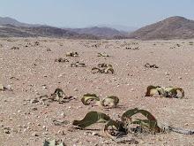 welwitschias