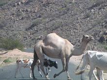 Camelos e bois