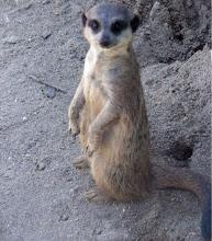 Suricata -Deserto Namibe