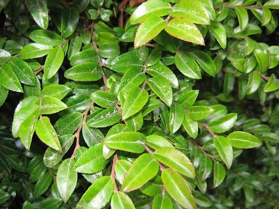 Native Oregon Plants Native Oregon Coastal Plant I D