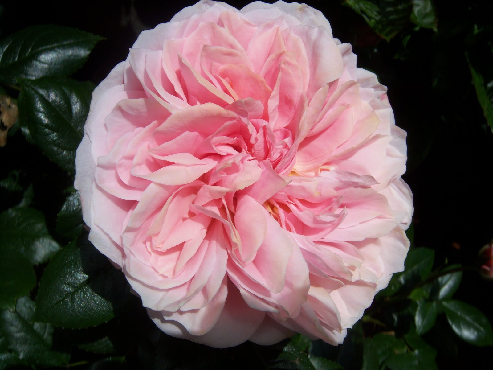 Roses In Garden: Searching For Rosebud: The Most Beautiful Rose Garden In