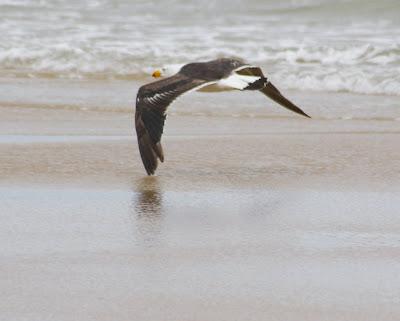 Gaviota volando a ras de suelo (foto de imageo.blogspot.com)