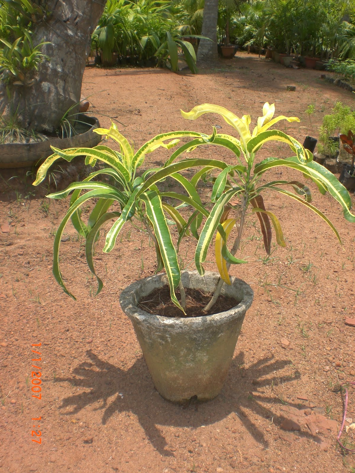 Variety Of Plants Croton Plants Buy Plants In Chennai