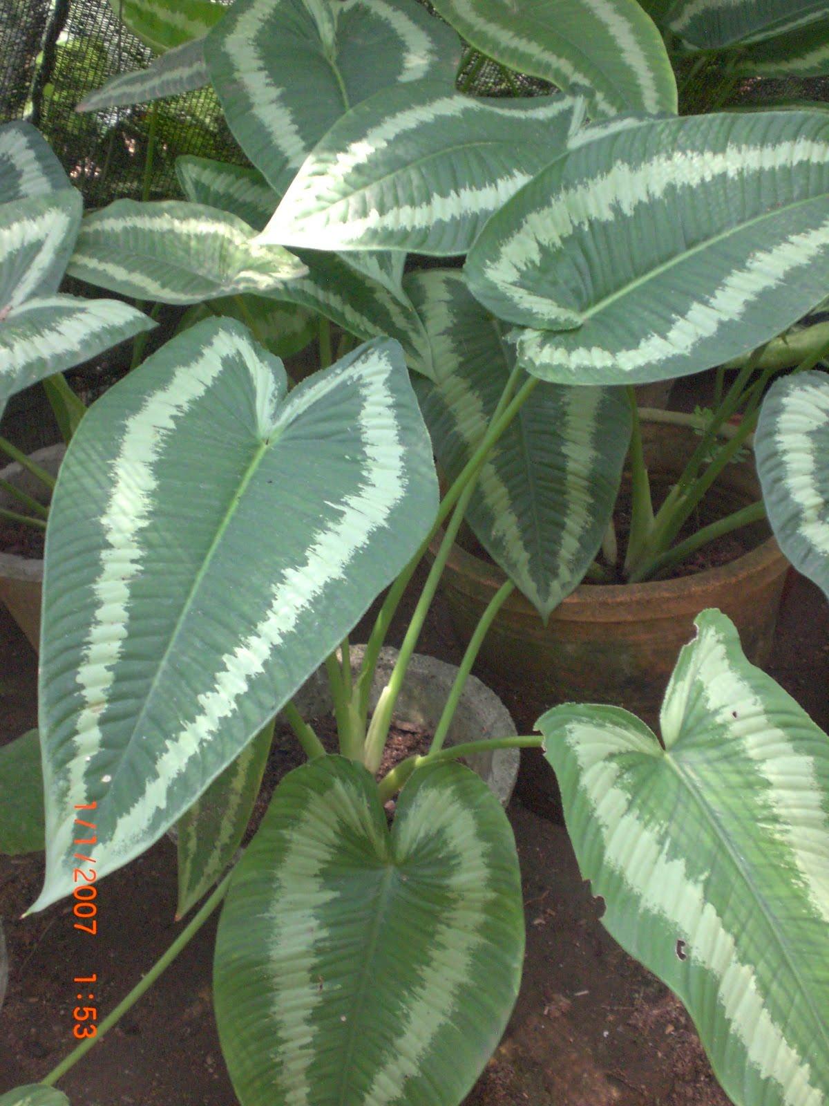 aglaonema varieties list
