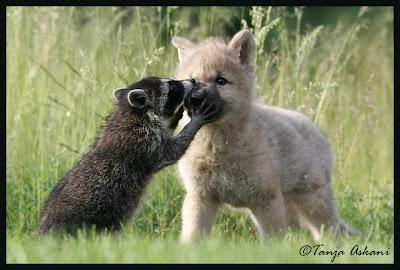 racoon+wolf.jpg