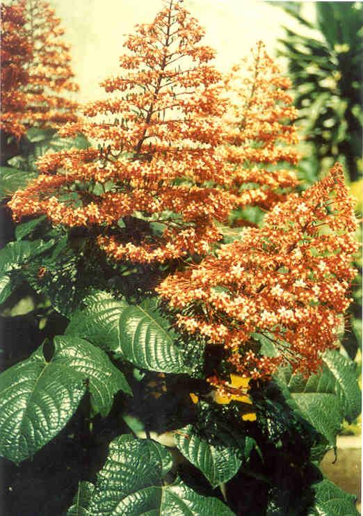 Habitat  Tumbuh di pekarangan rumah atau di tepi jalan 7a361d925e