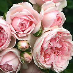My rose garden