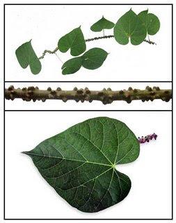 Filipino Herbal Medicine: MAKABUHAY