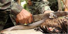 Así se mata una serpiente... Imagen de contenido eminentemente informativo, educativo,etc.