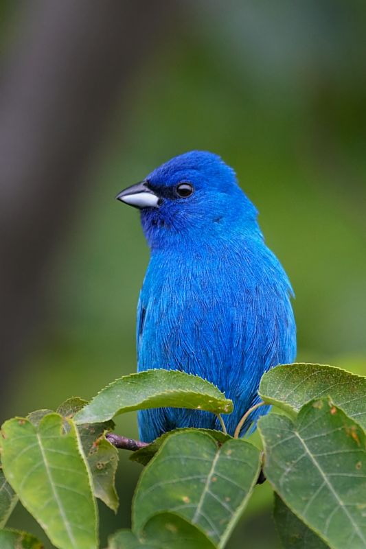 Indigo Bunting National Geogra...