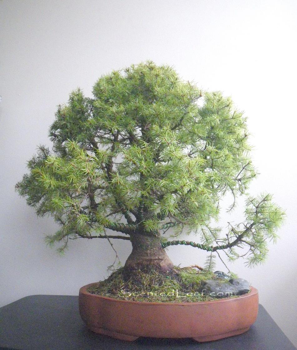 Scented Leaf Picea Pungens Globosa Bonsai