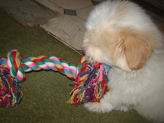 coton de tulear playing with toy
