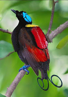 facts around us: beautiful Bird of Paradise Pictures