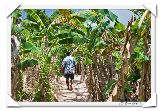 picture photograph image Walking through a Fijian Plantation: Seruvi walks past bananas 2008 copyright of sam breach http://becksposhnosh.blogspot.com/
