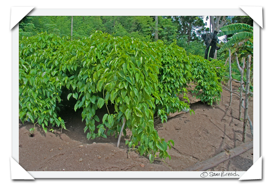 picture photograph image Walking through a Fijian Plantation: yams 2008 copyright of sam breach http://becksposhnosh.blogspot.com/
