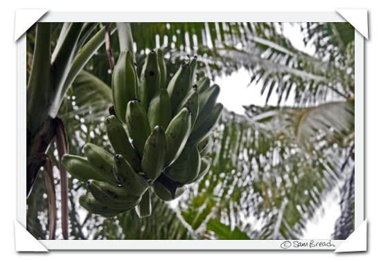 picture photograph image Walking through a Fijian Plantation: cooking bananas 2008 copyright of sam breach http://becksposhnosh.blogspot.com/