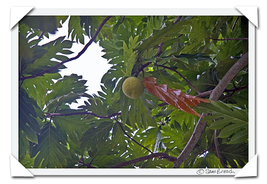 picture photograph image Walking through a Fijian Plantation: bread fruit 2008 copyright of sam breach http://becksposhnosh.blogspot.com/