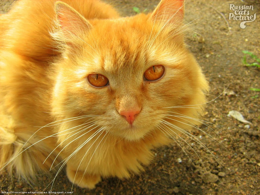 Red Eyed Red Mackerel Tabby Sad Cat Russian Cats Pictures