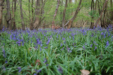 Caley Wood bluebells