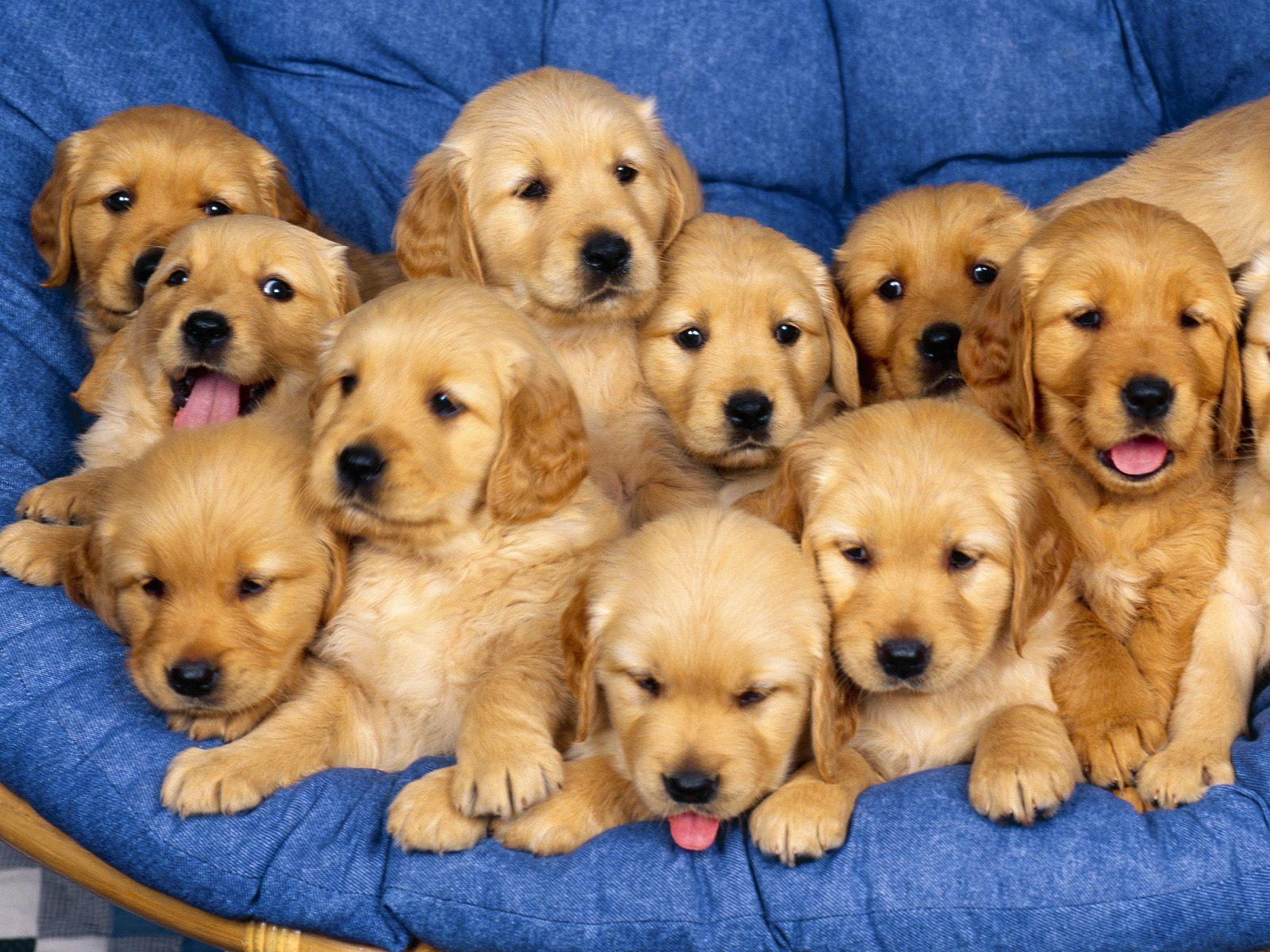 Honden achtergrond met veel bruine jonge hondjes op een stoel
