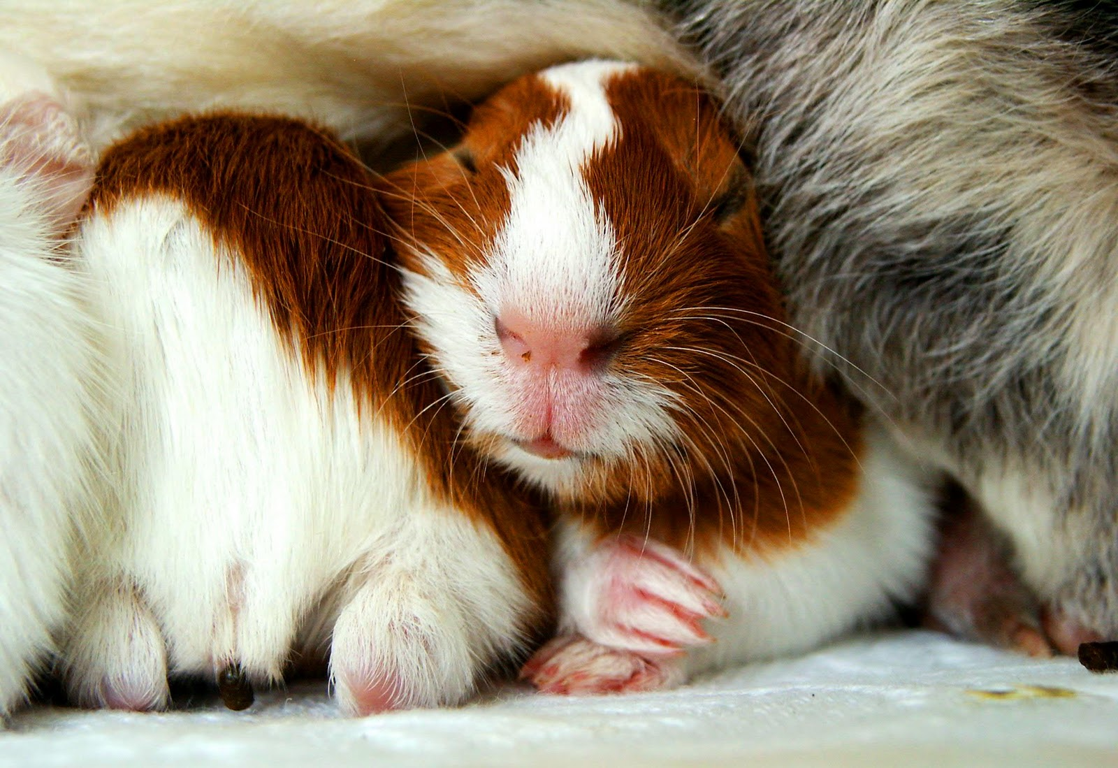 Cute Baby Hamsters Wallpaper Cavia Achtergronden Hd Wallpapers