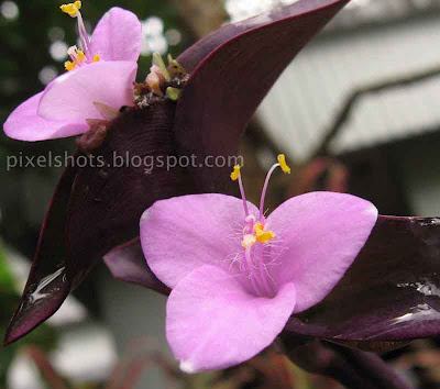 wandering jew,purple hearts,purple queens,Setcreasea pallida,Setcreasea purpurea,Commelinaceae,pink-flowers,small cute simple pink flowers closeup mode photo,Tradescantia flower closeups from kerala gardens,Tradescantia pallida,twin-pink-flowers,Groundcovers,perennials