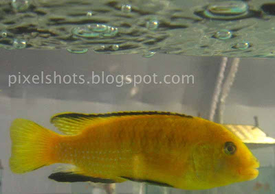 african-aquarium-fish,yellow-lab-fishes,yellow-prince,labido-ornamental-fish,lemon-drop-cichlids,kerala-aquarium-fishes,aquarium-fish-scientific-name-Labidochromis-caeruleus