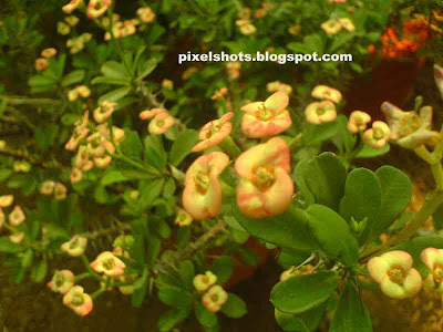 kronos,christ plant,crown of thorns,plant used to make christs thorn crown during crucification,pinkish white flowers,euphorbia millii,mature garden flowers,flowers turning colour to green,ornamental flowering plants,flowers,