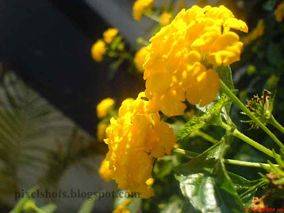 aripoovu,poochedy poovu,beautiful-yellow-flowers-digital photograph,common-kerala-flowers,flower-closeup from garden,yellow-flower-in-kerala,twin-yellow-flowers,collective-flower