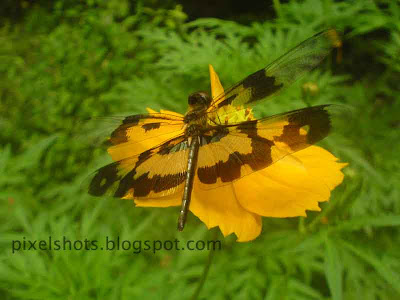 dragon fly on yellow flower closeup mode digital image