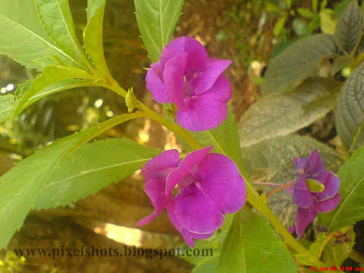 violet flowers of garden plant blossom taken from gardens in macro mode