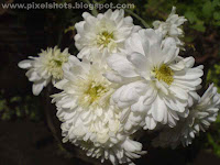 white jamanthy,kerala flowers,south indian flowers