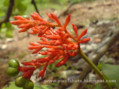 medicinal flower sarpagandhi or sarpagandha in kerala india,herb which is used to treat high blood preassure.photograph of medicinal flower indian snake root having botanical name rauvolfia serpentina a medicine for high blood pressure