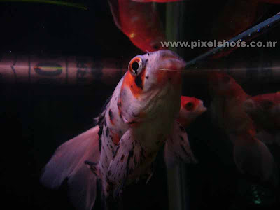 variety of golden fish in aquariums,photograph of black doteed white goldenfish in aquarium fish tank,Golden Orandas,special type of golden fish Orandas