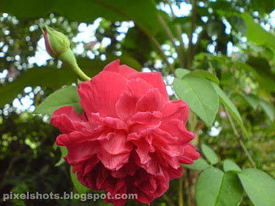 red rose flower and rose bud,red rose common in kerala india,rose flower and bud photograph from gardens