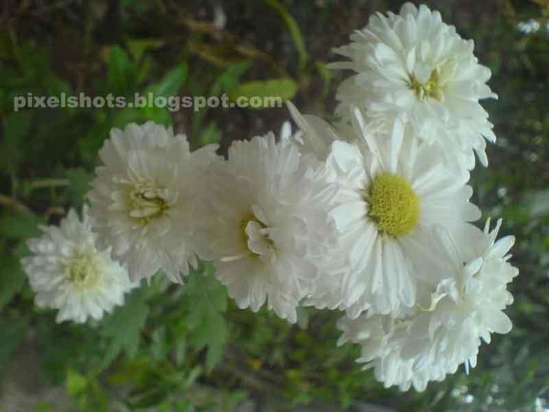Kerala flowersyellow and white flowers of jamanthicommon south kerala flowersyellow and white flowers of jamanthicommon south indian flowers similar to spidermumspixelshots mightylinksfo