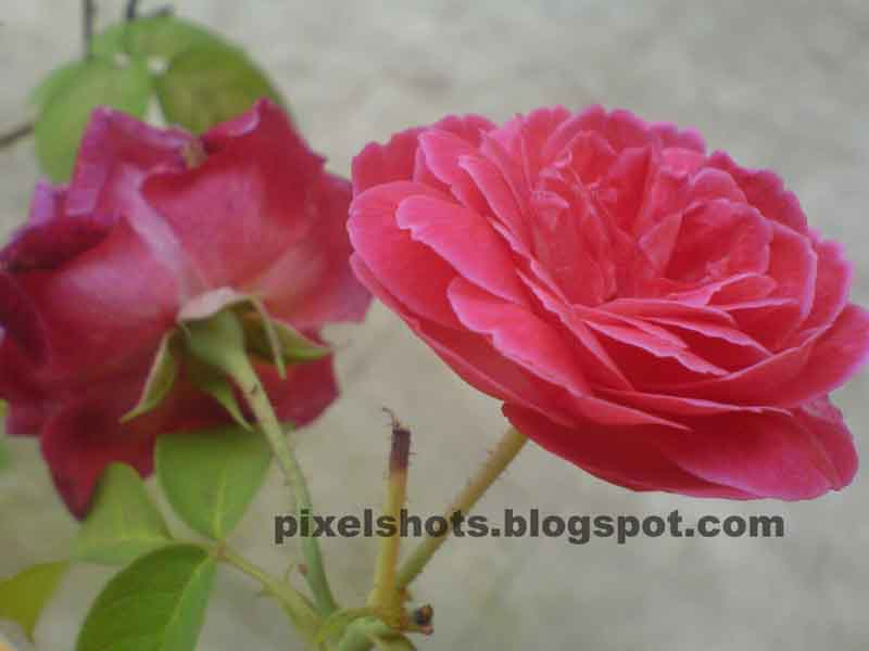 [reddish+pink+rose+macro+mobile+photo.jpg]