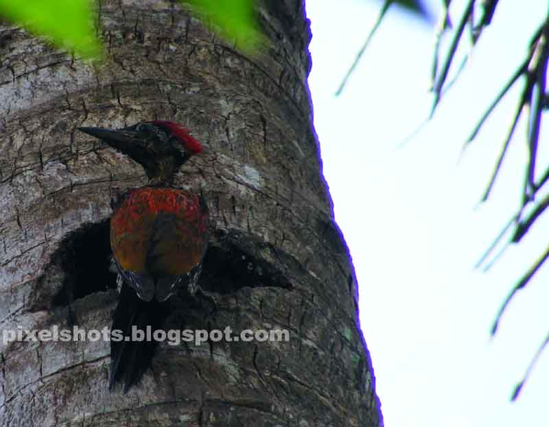woodpecker sitting on tree of cocnut,indian woodpecker,kerala woodpecker photos,woodpecker bird with dark orange feathers and a red feather crown,woodpecker appearing damp in rain,dark beak untidy feathers black tailed wood pecker,maram kothi