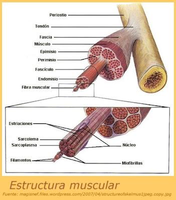 Ciencia y Salud: Contracción del músculo esquelético