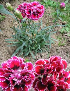Clavel en floracion