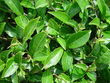 Camellia sinensis - Study shows that more black tea in the diet lowers LDL Cholesterol