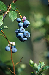 The brain-plaqued mice that were fed the blueberry extract performed as well as the healthy control mice and performed much better than their brain-plaqued peers fed standard chow.