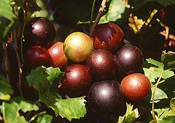 Muscadine grapes are a natural food source for lowering both total cholesterol and LDL (bad) cholesterol levels, blood pressure, triglycerides and also protects against coronary heart disease, gastrointestinal diseases, and colon cancer.